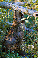 North American Beaver (Castor canadensis) cutting cottonwood tree into pieces it can transport back to the lodge area for food.  Western U.S., fall