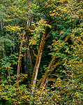 Large Leaf Maple, Redwood Creek, Redwood National and State Parks, California