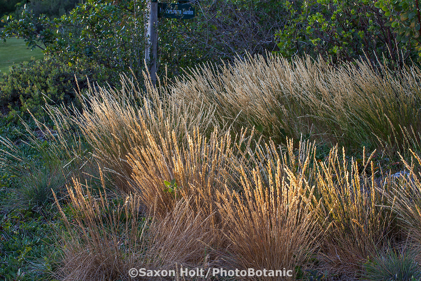 Melica californica, California native Melic grass in native plant garden, Leaning Pine Arboretum