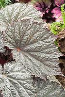 Begonia Elda Haring, spotted silvery ornamental foliage