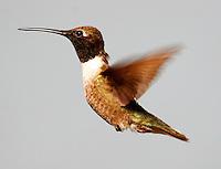 Adult male black-chinned hummingbird flying