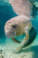 Florida Manatee, Trichechus manatus latirostris, A subspecies of the West Indian Manatee. Young manatees cavort and play near the Three Sisters Sanctuary. Crystal River, Florida.