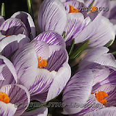 Gisela, FLOWERS, BLUMEN, FLORES, photos+++++,DTGK2009,#f#