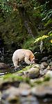 Adult spirit bear or Kermode bear (Ursus americanus kermodei)(pale/white morph of an North American black bear). Feeding on salmon along Gwaa stream, Gribbell Island, Great Bear Rainforest, British Columbia, Canada. September 2018.