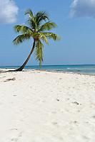 Lonely coconut tree on pristine tropical beach, Saona Island, Dominican Republic