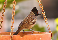 Stock image of red vented bulbul singing, sitting on a bird feeder pot in the backyard of house.