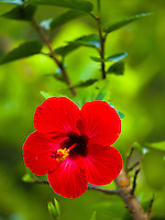 A vivid red hibiscus flower against a bright green background, Big Island.