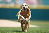 """""""Jake the Diamond Dog"""" carries a basket in house mouth prior to the start of the International League game between the Indianapolis Indians and the Columbus Clippers at Huntington Park on June 17, 2018 in Columbus, Ohio. The Indians defeated the Clippers 6-3.  (Brian Westerholt/Four Seam Images)"""