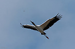 Wood Stork in Flight with Dragonfly Sanibel Island Florida