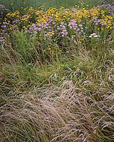 Wild Bergamot (Monarda fistulosa) and Prairie Coneflower (Ratibida pinnata) on a restored prairie; LaSalle County, IL