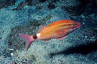 White-lined goatfish, Parupeneus ciliatus, Izu ocean park, Sagami bay, Izu peninsula, Shizuoka, Japan, Pacific Ocean