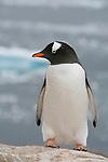 Manchot papou. Andvord Bay. Croisière à bord du NordNorge. Péninsule Antarctique