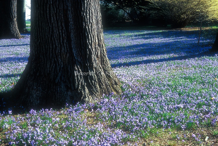 Scilla sibirica in spring landscape under trees, naturalized dwarf minor bulbs with blue flowers