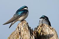 Tree Swallow (Tachycineta bicolor). Oregon. April.