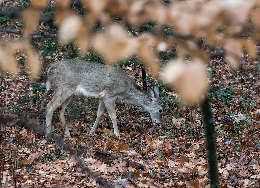 Deer foraging for food.