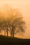 Oaks in silhouette in fog at sunset in the Sierra Nevada Foothills of Amador County, Calif.