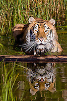 Siberian Tiger with reflection lying in a pond - CA