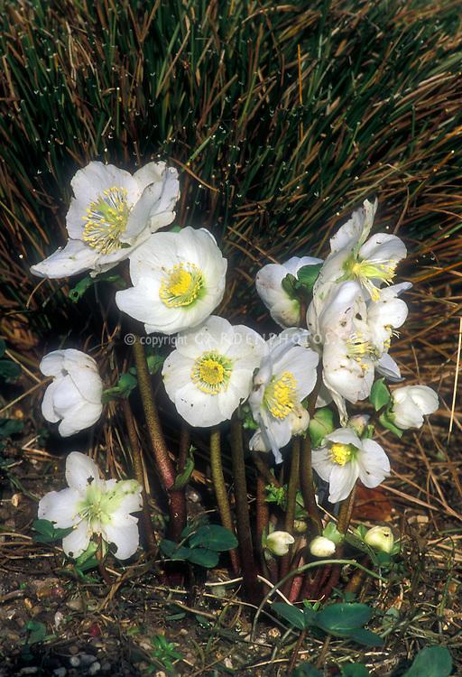 Helleborus niger White Magic hellebore