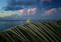 Parrot on palm branch with sunrise clouds. Poipu, Kauai, Hawaii.