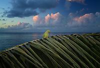 Parrot on palm branch with sunrise clouds. Poipu, Kauai, Hawaii.