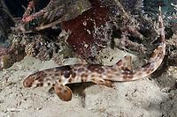 Halmahera Epaulette Shark, Hemiscyllium halmahera. Aka Halmahera walking shark. A species of bamboo shark known from Ternate and Halmahera Islands in the Moluccas Archipelago in Indonesia.