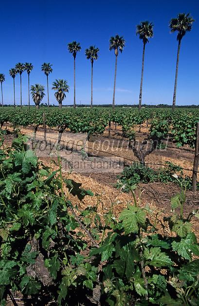 Océanie/Australie/South Australia/Australie Méridionale/Barossa Valley: Vigne et palmier à château Dorrien