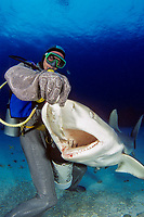This diver (MR) in a full chain mail suit, is hand feeding Caribbean Reef Sharks, Carcharhinus perezii, off Freeport, Bahamas., Caribbean, Atlantic