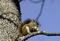 MA07-017z  Red Squirrel - eating apple in tree - Tamiasciurus hudsonicus