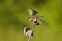 Savannah Sparrow (Passerculus sandwichensis). Point Pelee National Park, Ontario. Canada. Spring. Lake Erie.