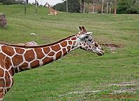 0212-08qq  Reticulated Giraffe, Giraffa camelopardalis reticulata © David Kuhn/Dwight Kuhn Photography