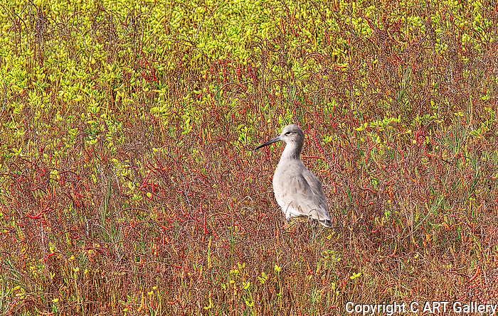Field of Color: Willet in Bolsa Chica State Park, CA.
