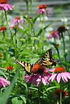 Swallowtail butterfly on coneflower
