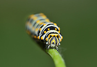 Black Swallowtail (Papilio polyxenes), caterpillar weaving silk to attach chrysalis, Hill Country, Texas, USA