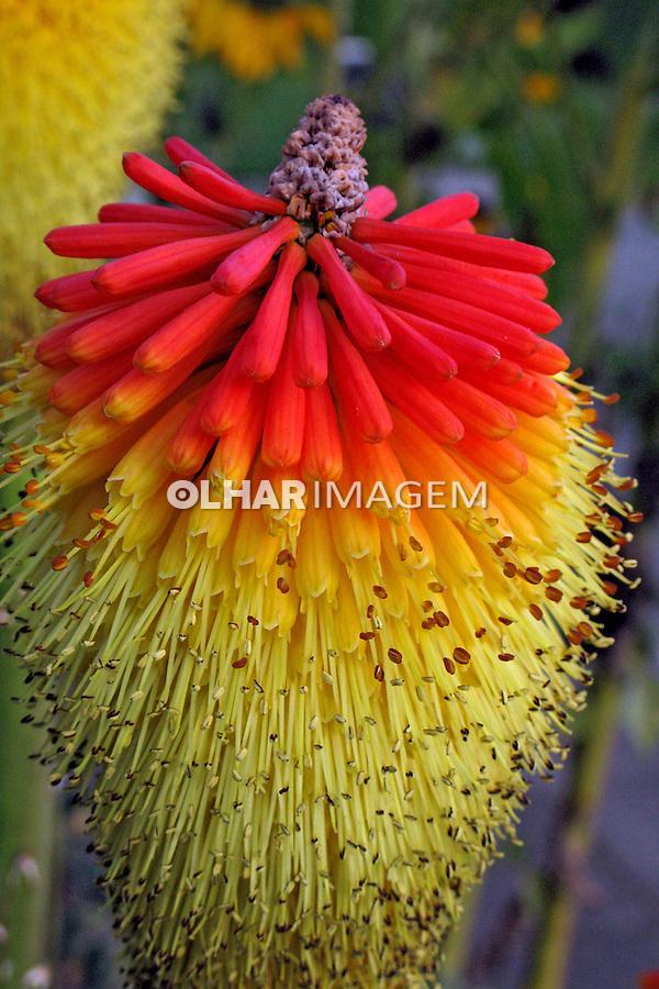 Flores. Tritoma, lirio-tocha ( Kniphofia uvaria ). UK. Foto de Manuel Lourenço.