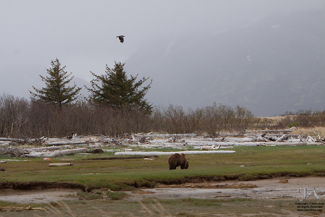Bald eagle Flying and Adult Grizzly bear eating sedge grass in Katmai National Park, Alaska