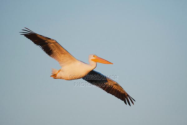 American White Pelican (Pelecanus erythrorhynchos), adult in flight, Sinton, Corpus Christi, Coastal Bend, Texas, USA