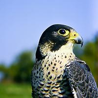 Wanderfalke, Wander-Falke, Portrait, Porträt, Falke, Falken, Falco peregrinus, peregrine, peregrine falcon, Le Faucon pèlerin
