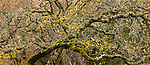 A moss and lichen covered oak tree in Henry W. Coe State Park, California.
