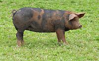 Duroc x Berkshire porker.