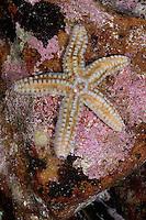 Eisstern, Eisseestern, Eis-Seestern, Warzenstern, Warzenseestern, Warzen-Seestern, Seestern, Marthasterias glacialis, Spiny starfish, Spiny sea star, sea star, Sea-star