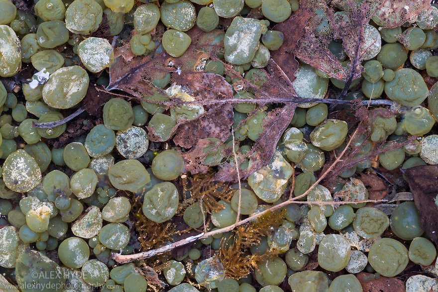 Freshwater Grapes {Nostoc sp.}, a blue-green algae or cyanobacteria, found in a shallow freshwater pool on an area of limestone pavement. Gait Barrows National Nature Reserve, Lancashire, UK. September.