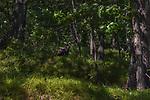 Tom turkey in a northern Wisconsin forest.