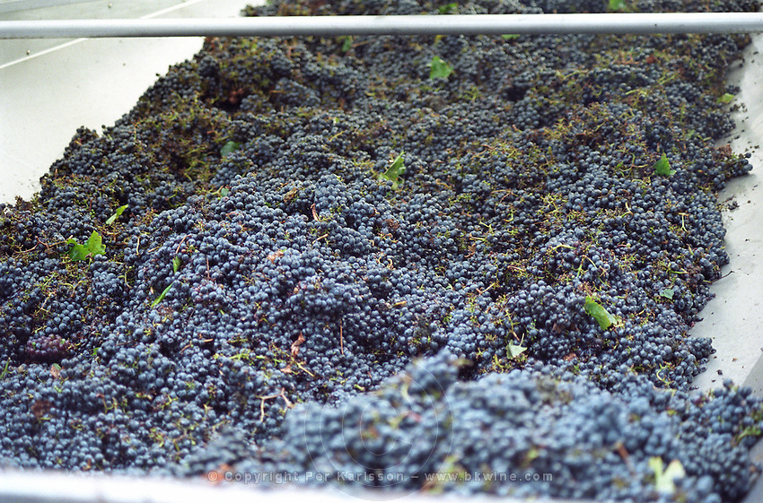 Hand picked grapes. Chateau Giscours, Margaux, Medoc, Bordeaux, France