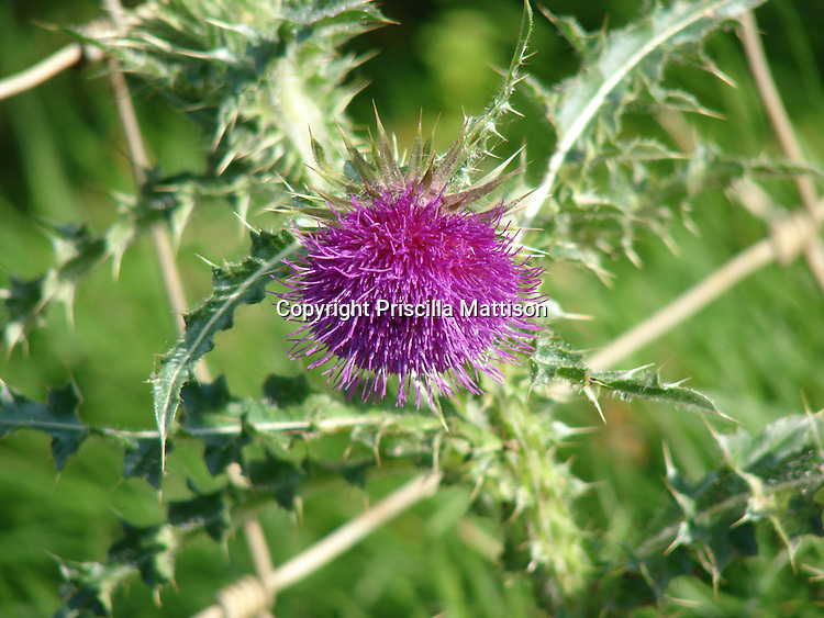 Closeup of a purple flowering thistle