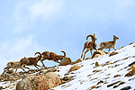 Male and female urial or shapu (Ovis vignei) running across sleep barren slopes. Himalayas near Ulley, Ladakh, India.