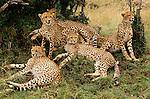 Cheetah family, Kenya