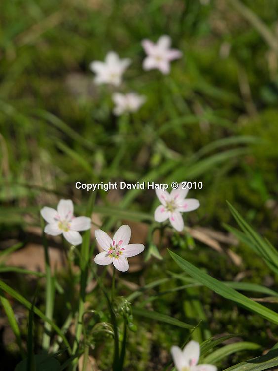 Spring Beauties,Claytonia