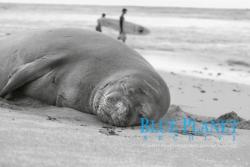 black and white composition Monk Seal Surf, Hawaiian Monk Seal, Neomonachus schauinslandi, resting on North Shore beach, Oahu, Hawaii, USA, Pacific Ocean