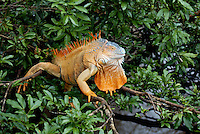Green Iguana (Iguana iguana) in a tree overlooking at river at the Iguana Restaurant in Muelle, Costa Rica.