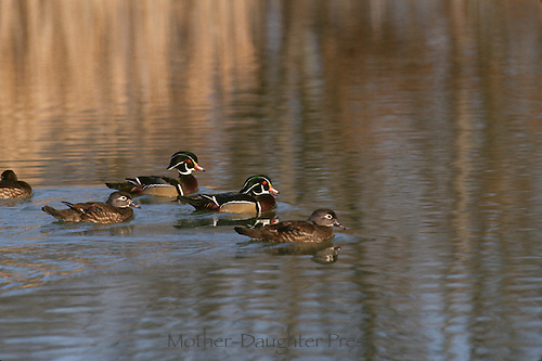 Male and female wood ducks swimming in pond in fall, midwest